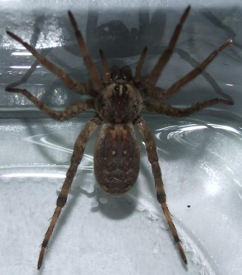 Giant House Spider of sorts? - Hogna antelucana - female