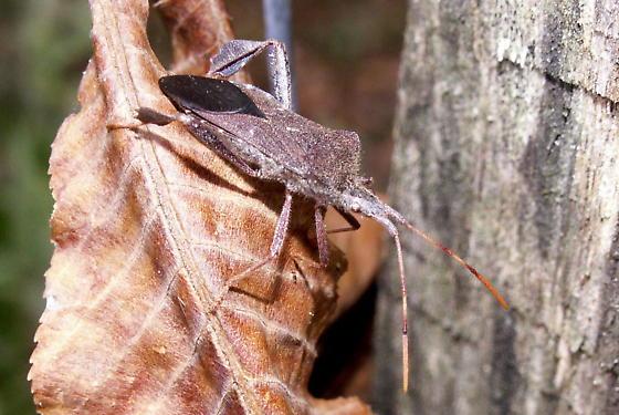 Leaf-footed Bug  - Leptoglossus oppositus