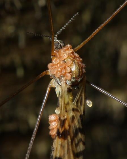 Mites on crane fly - Cheiroseius