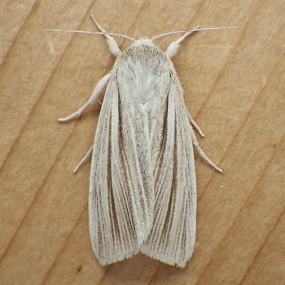 Noctuidae: Simyra insularis - Acronicta insularis