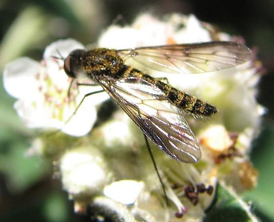 What Bee Fly? - Thevenetimyia