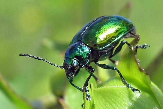 emerald green beetle - Chrysochus auratus
