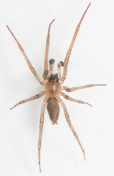 Spider - Strotarchus piscatorius - male