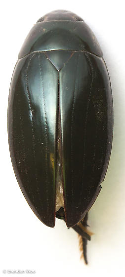 Hydrophilus triangularis