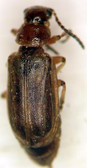 Tamarisk Leaf Beetle - Diorhabda carinulata - male