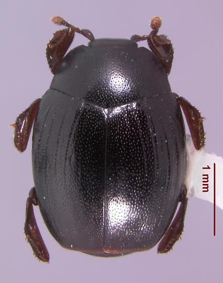 Dendrophilus (s.str) punctatus (Herbst 1792) - Dendrophilus punctatus