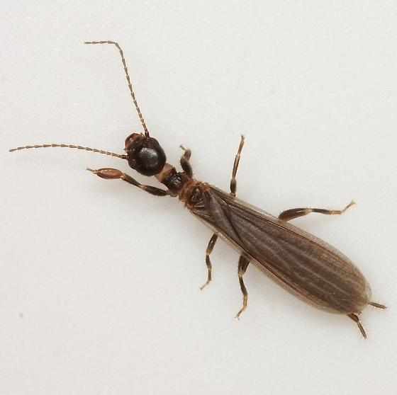 Oligotoma - Oligotoma nigra