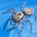Jumping Spider - Indoors - Salticus scenicus - female