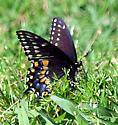 Is this a female eastern black swallowtail? - Papilio polyxenes - female