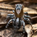Jumping Spider ? - Naphrys pulex