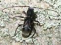 Ant-Like Longhorn Beetle - Cyrtophorus verrucosus
