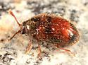 Silken Fungus Beetle - Henotiderus centromaculatus