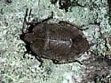 Hemiptera - Menecles insertus
