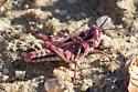 Purple Grasshopper - Conozoa rebellis - female