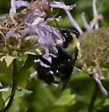 Bombus citrinus - female