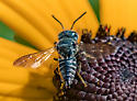 Cuckoo Leaf-cutter bee? - Coelioxys modestus