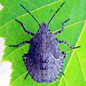 nymph - Brochymena