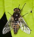 Manitoba Fly - Atherix variegata - male