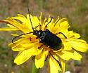 Longhorn beetle - Pseudogaurotina cressoni