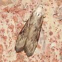 Moth - Aphomia sociella