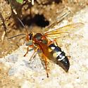 Cicada Killer? - Sphecius speciosus - female