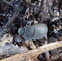 beetle? - Alaetrinus minimus