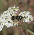Fly species? - Eristalis hirta