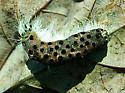 Hickory Tussock Moth Caterpillar - Aleiodes stigmator