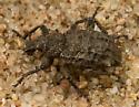 Weevil - Rhigopsis effracta