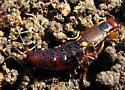 Rove beetle? - Forficula auricularia - female
