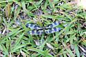 Banded Pennant - Celithemis fasciata