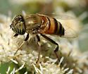 Eristalinus_taeniops - Eristalinus taeniops - female