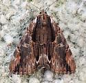 Pennsylvania Moth - Catocala ultronia