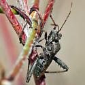 Broad-headed bug? - Alydus
