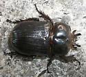 beetle - Phileurus truncatus