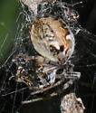 Spider with egg sac - Metepeira labyrinthea