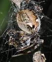 Spider with egg sac - Metepeira labyrinthea