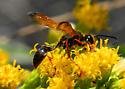 Grass-carrying Wasp, Perhaps? - Isodontia elegans