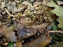 Sphingidae, cryptic - Paonias myops