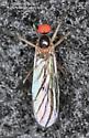 Fly - Rhamphomyia - male