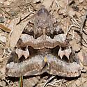 Shadowy Arches - Drasteria adumbrata