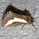 moth - Euscirrhopterus cosyra