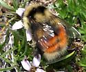 Bumble bee on Moss Campion - Bombus sylvicola