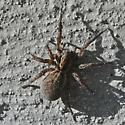 spider - Trochosa terricola
