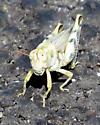 Pale Desert Grasshopper - female