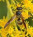 Potter wasp - Ancistrocerus campestris - Ancistrocerus campestris
