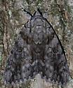 Ulalume Underwing Moth - Catocala ulalume