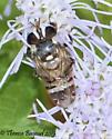 fly - Copestylum tamaulipanum