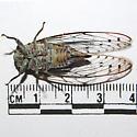 Small Cicada - Neocicada hieroglyphica