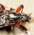 Bibio femoratus female? - Bibio femoratus